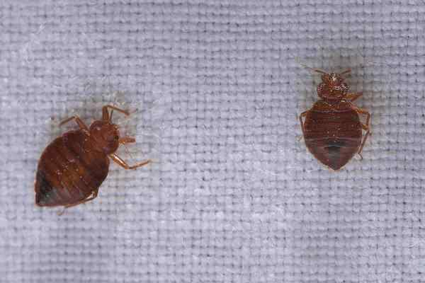 bed bugs crawling on bedding