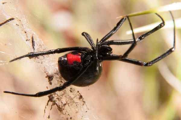black widow spider hanging in web