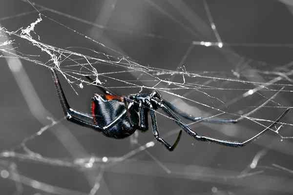 a black widow spider in her web