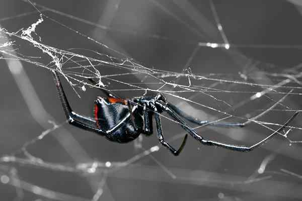 a black widow spider in her web