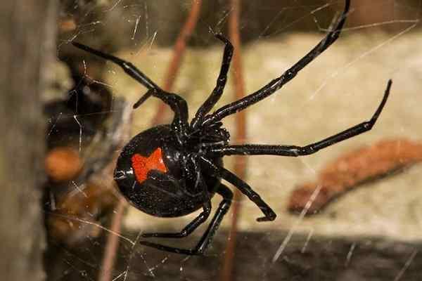 a black widow spider crawling in a web