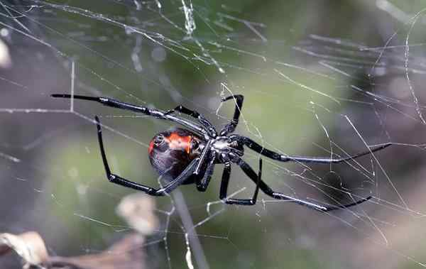 a black widow spider crawling on her web