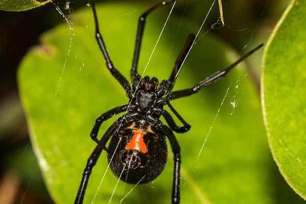 a black widow spider in a garden