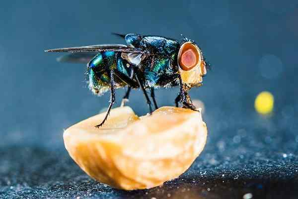 a blow fly eating food
