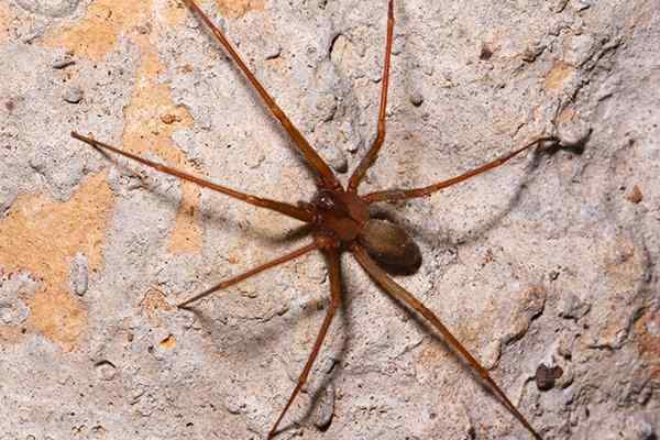 brown recluse spider crawling in a basement