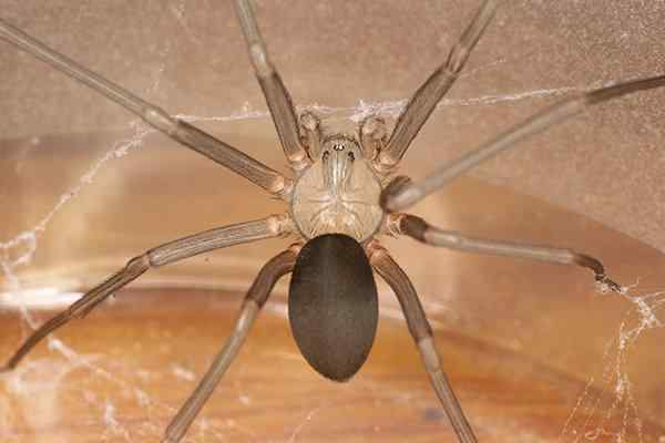a brown recluse spider crawling in web