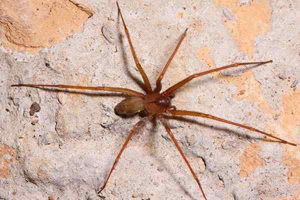 brown recluse spider on a foundation wall