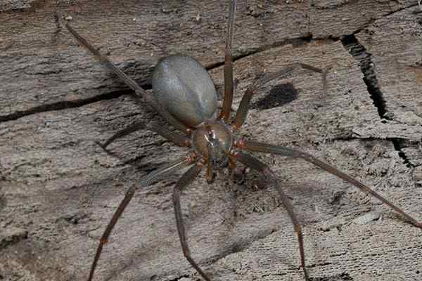 brown recluse spider on wood