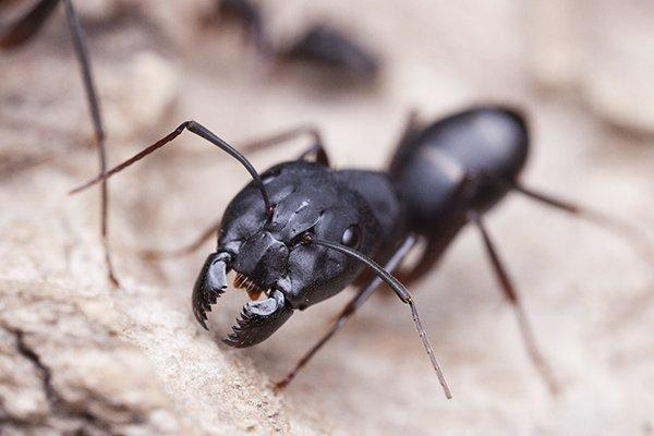 a  carpenter ant crawling on a nest