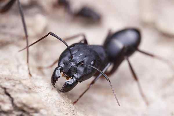 carpenter ant crawling in nest