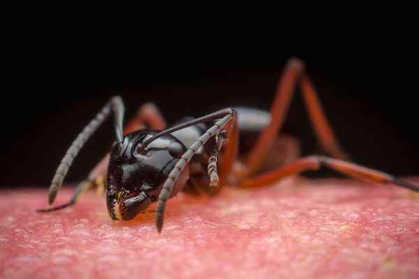 carpenter ant crawling in a home