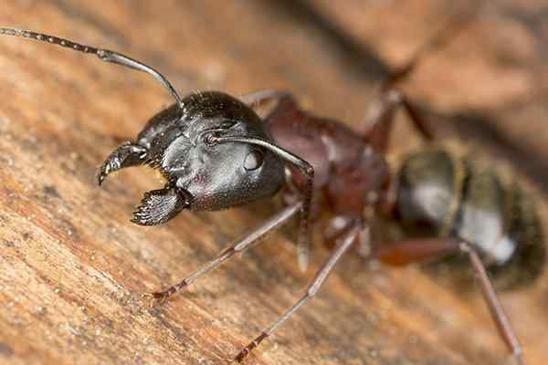 a carpenter ant walking on wood