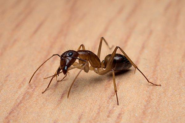 a carpenter ant crawling on a wooden table
