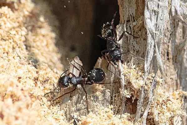 carpenter ants damaging wood
