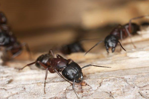 carpenter ants infesting wooden structure in a home