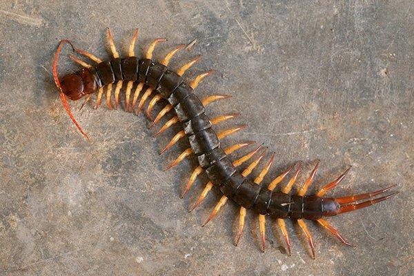 a centipede on a basement