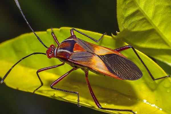 a chinch bug crawling on a leaf