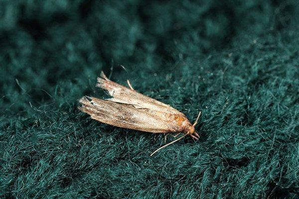 moth eating clothes