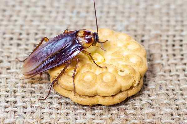 a cockroach crawling on a cookie on a table