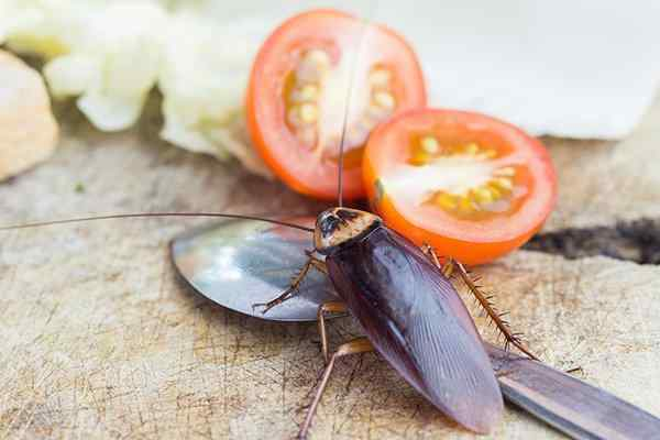 cockroach crawling on food in a kitchen
