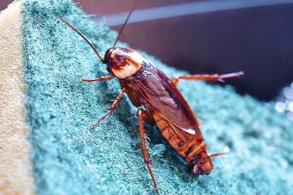 cockroach on kitchen sponge