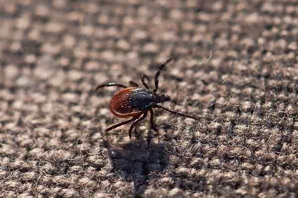 a deer tick on a sweater