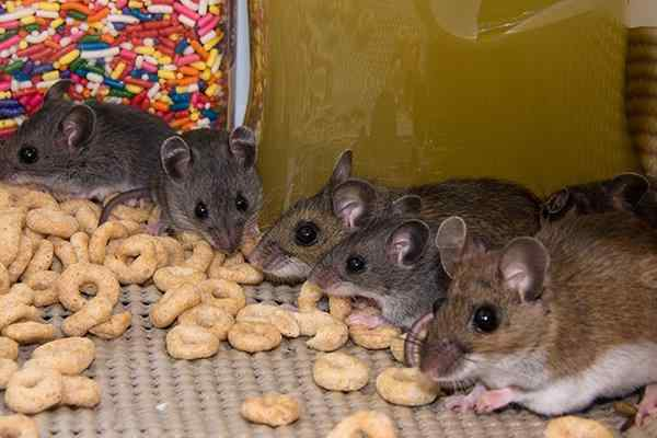 mice infesting a pantry