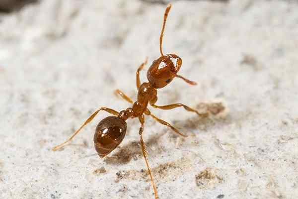 a fire ant looking for food on a patio