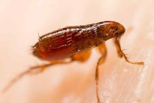 flea crawling on skin