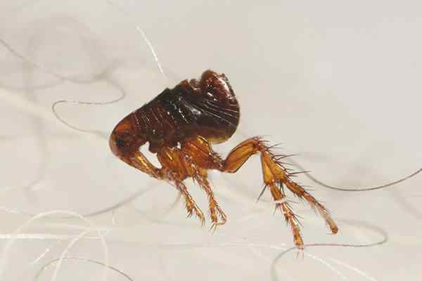 a flea crawling in pet hair