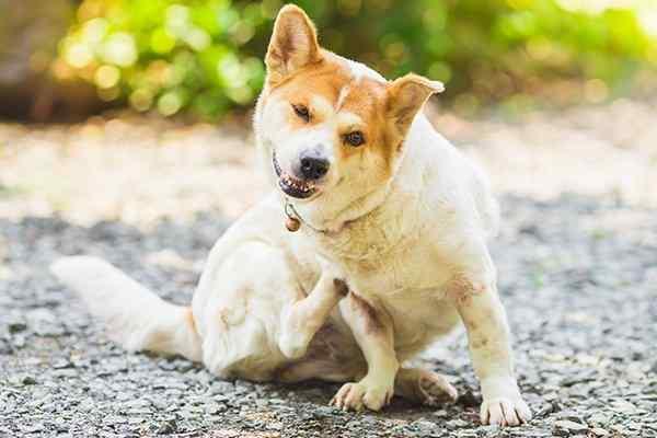 a dog scratching fleas on a patio