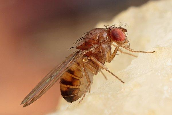 a fruit fly on food