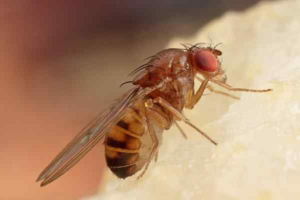 fruit fly eating food