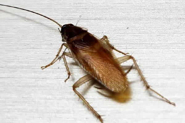 a german cockroach crawling accross a counter top