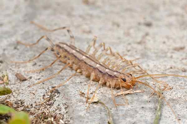a house centipede crawling on a patio
