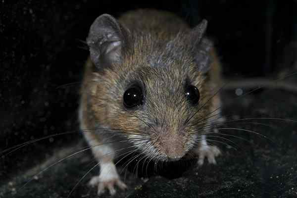 a house mouse crawling in a basement