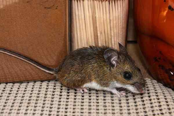 a house mouse crawling in a pantry