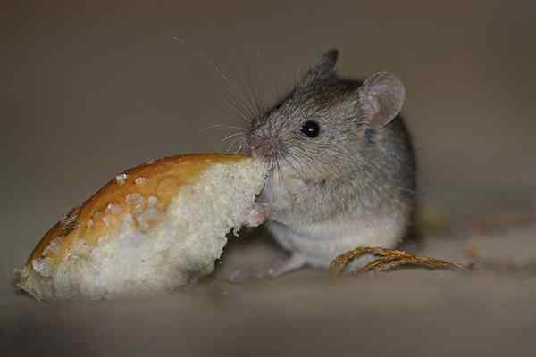 house mouse eating bread in a kitchen