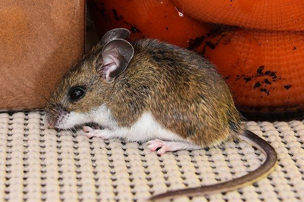 house mouse in kitchen pantry