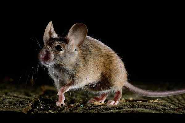 a house mouse in a basement