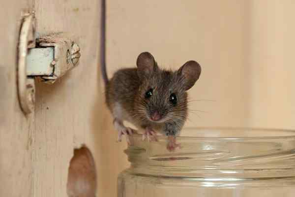 a house mouse inside a cupboard