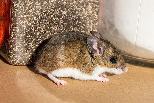 a  house mouse inside of a home durring fall season