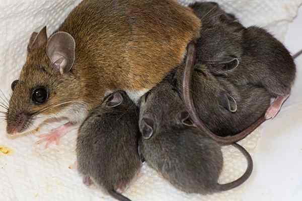 a house mouse mother and young in a nest