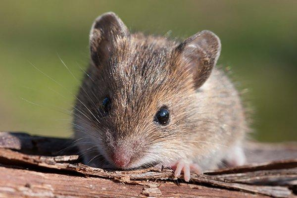 a house mouse outside of a home