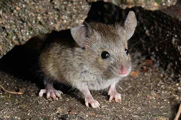 house mouse outside a home in winter