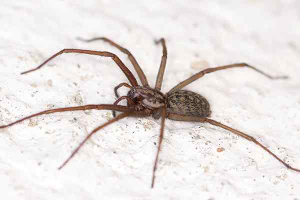 house spider crawling on the ground