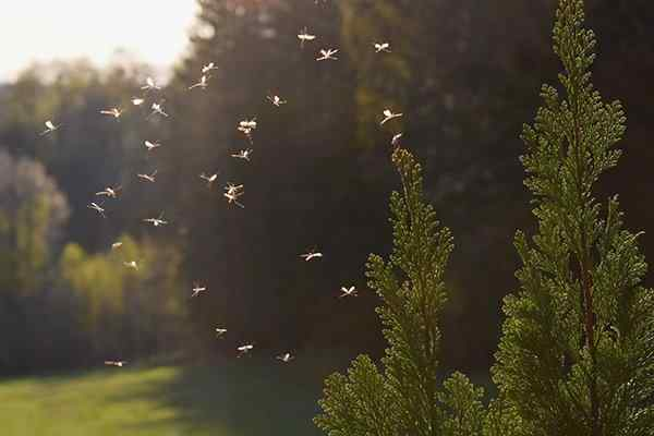 mosquitoes swarming in a back yard