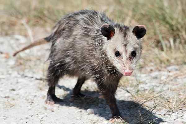 an opossum walking in a yard