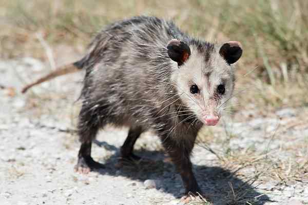 an opossum walking in a yard