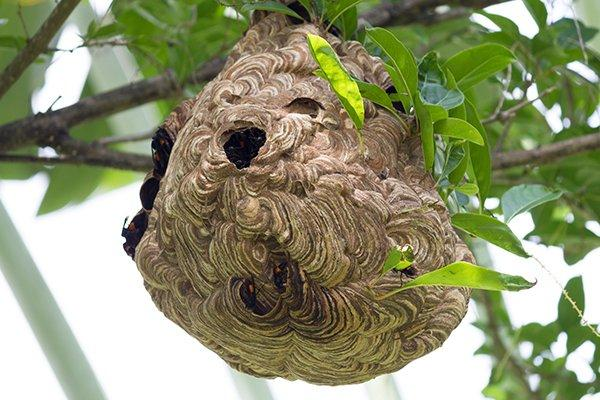 paper wasps hive in a tree